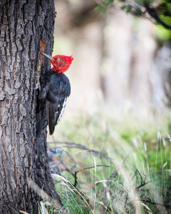 A Male Magellanic Woodpecker Patagonia